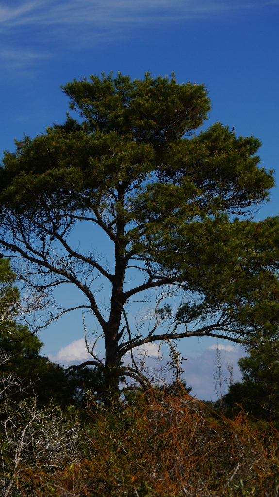 The sand pine (Pinus Clausa) , endemic to Florida and southern states, is mostly confined to sandy , infertile soils. But it's the dominant tree in sand scrub ecosystems that harbor threatened species.