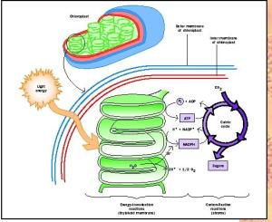 From http://www.biologyreference.com/Ph-Po/Photosynthesis.html