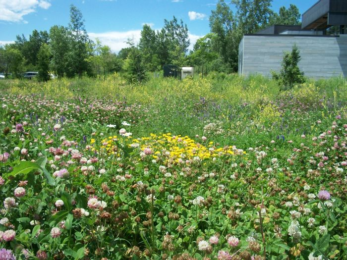 Birdsfoot trefoil, vetch & red clover abound near  St.Laurent's  duBoisé library, one designed with  ecology in mind.