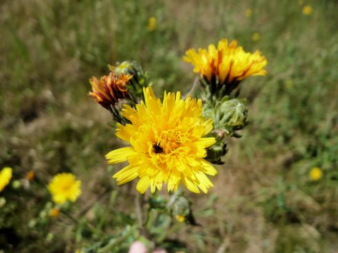 Smooth_Hawksbeard