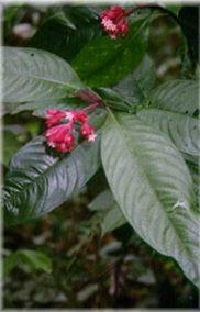 psychotria-viridis