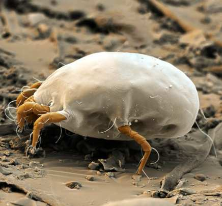 a dust mite, which feeds on dead skin cells