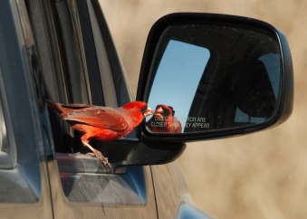 sfw_cardinal-pecking-at-reflection-best-2015-02-13